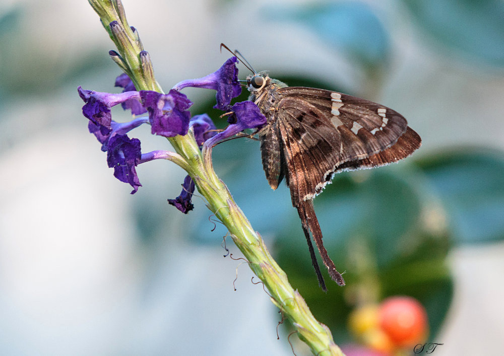 P008_Long-tailedSkipper.jpg