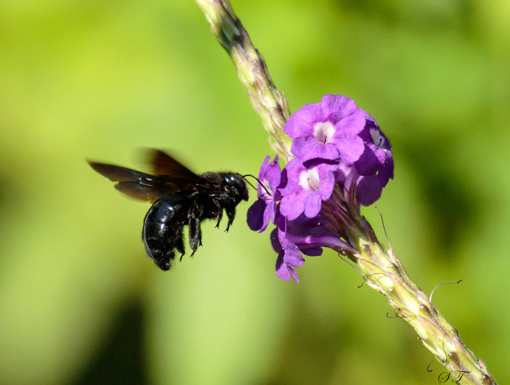 P010_SouthernCarpenterBee_Xylocopa_micans.jpg