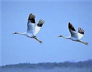 Two-whoopers-flying-Wakapedia[1].jpg