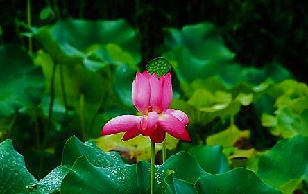 lotus-2495975__340.jpg